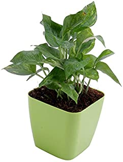 Live Money Plant with Green Plastic Pot 6 inches Pot
