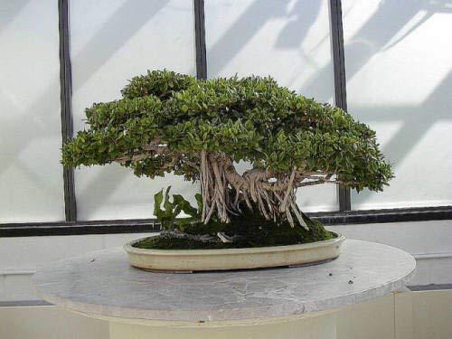 Croissance rapide Banyan Tree - figuier étrangleur - Les graines fraîches
