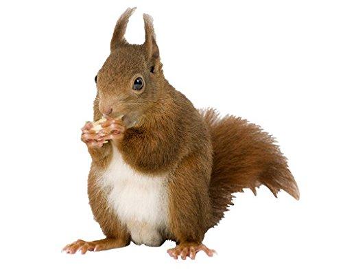 Apalis Wandtattoo No.137 Eichhörnchen Tier Wald Eichhörnchen Nüsse Nagetier