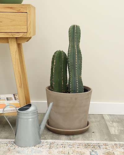 PlantVine Cereus peruvianus, Peruvian Apple Cactus - Large - 8-10 Inch Pot (3 Gallon), Live Indoor Plant, 4 Pack