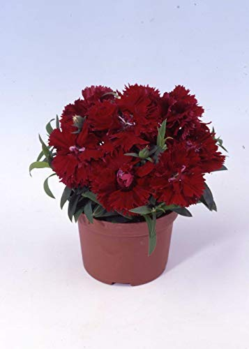 BloomGreen Co. Graines de fleurs: Dianthus Grenadin Golden Sun plantes à fleurs Garden Seeds Graines Pour Maison (6) Jardin Packets Graines de plantes