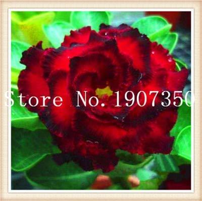Generic Fresh 2 Stk. Desert Rose Blumensamen zum Pflanzen von Rot 1