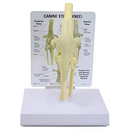 Canine Kniegelenk Model, Tierkörper Anatomie Nachbau des Hunde Stifle für Veterinäramt Lernprogramm