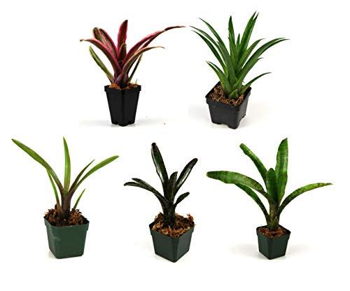 Bromeliad Bundle (5 Plants)