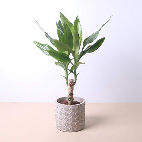 Planta natural Dracaena Fragans a domicilio - Envío gratuito - Altura 40cm y Diámetro 12cm - Plantas decorativas - Exterior e interior - Varios maceteros disponibles. (4. Macetero triángulos)