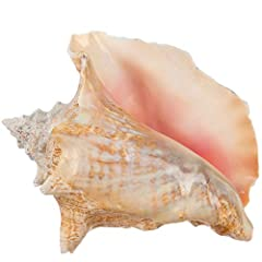 """INCLUDES - (1) Natural Conch Shell 6""""-8"""", plus a FREE PDF copy of """"A Practical Guide for Nautical Décor"""" eBook by Joseph Rains (delivered by email) TRULY UNIQUE - These large Bahama Conch shells, varying slightly in color and shape, display an open p..."""