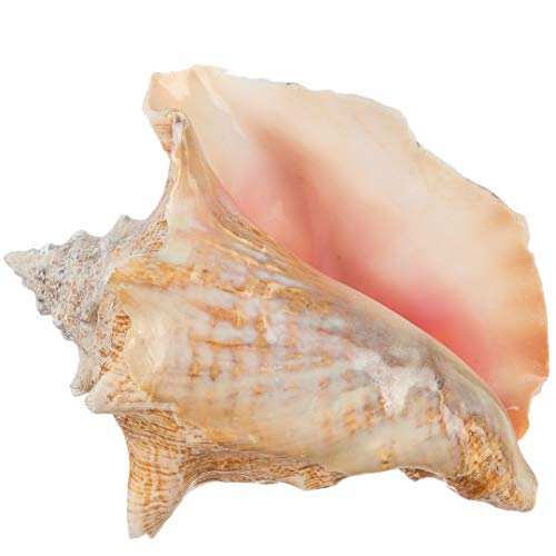 """Conch Sea Shell   Garden Quality 6""""-8"""" Conch Shell   Imperfect Conch Sea Shell   Plus Free Nautical eBook by Joseph Rains"""
