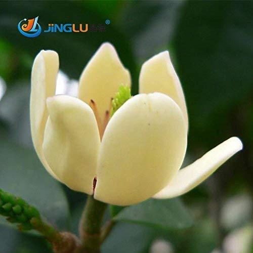 Ms Agro Lot de 10 graines aromatiques de Michelia Alba pour bonsaï et bonsaï