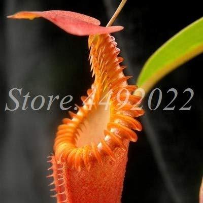 AGROBITS 300 pièces rayées Nepenthes Bonsai Manger moustiques Plantes carnivores Pitcher Tropical Catch Jardin des insectes pour Flower Pot en pot: 12
