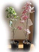 ハナミズキ苗木(庭木の種類)