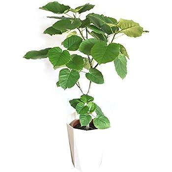 フィカス ウンベラータ ゴムの木 120cm スタイリッシュな白色鉢カバー付 観葉植物 中型 大型 インテリア