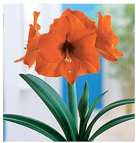 2PCS Orange Sovereign Amaryllis - Orange Bare Root,Nice Size Bulb!. Great for Winter Forcing! Wonderful and Unique Gift!!!.