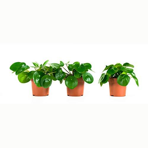 Zimmerpflanzen von Botanicly – 3 × Ufopflanze – Höhe: 22 cm – Pilea peperomioides