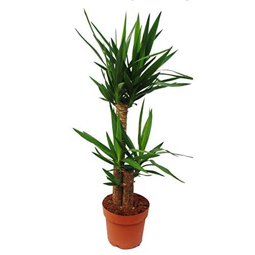 Exotenherz - Yucca Palme - Palmlilie - 2...