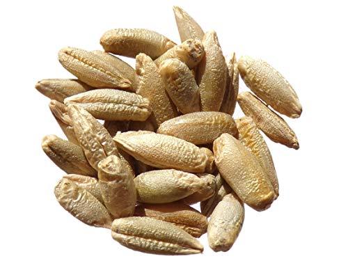 Seigle Fourrager Protector - 40 grammes - Secale Cereale L. - Rye - (Engrais Vert - Green Manure) - SEM02