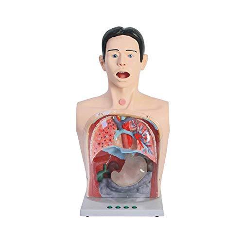 XYSQWZ Modelo De Lavado Gástrico Transparente Avanzado Modelo Anatómico Humano para Órganos del Cuerpo Humano De La Escuela De Medicina