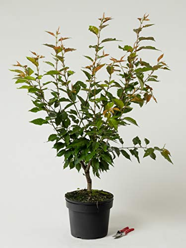 Japanische Blütenkirsche - Prunus serrulata Kanzan 60-100 cm hoch - Garten von Ehren