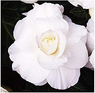 1 Double White Large Begonia Corm/Bulb - Beautiful in Ground or in Pots bur Not Cold Hardy