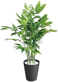 高性チャメドレア 観葉植物 本物 ブラックセラアート鉢 ヤシの木 日陰や寒さに強い やしの木 インテリア