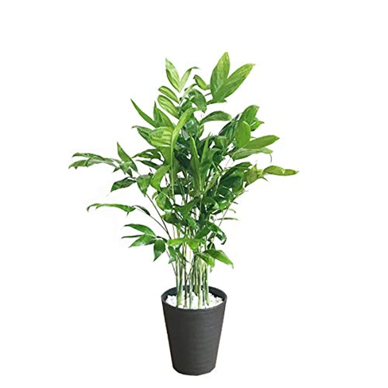 責任数学者仕事に行く高性チャメドレア 観葉植物 本物 ブラックセラアート鉢 ヤシの木 日陰や寒さに強い やしの木 インテリア