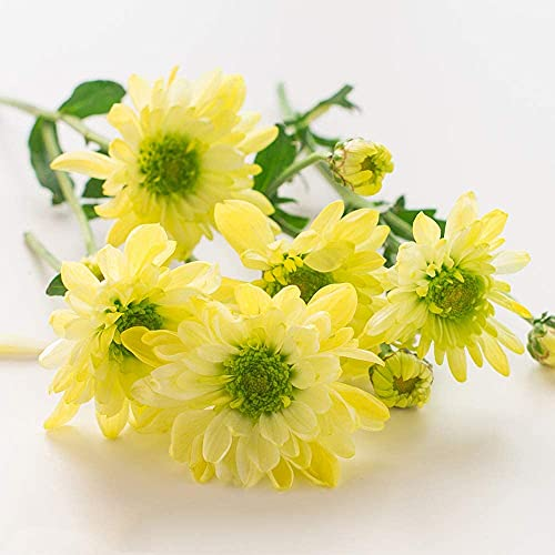 100pcs Daisy Samen Gelb Mischen...