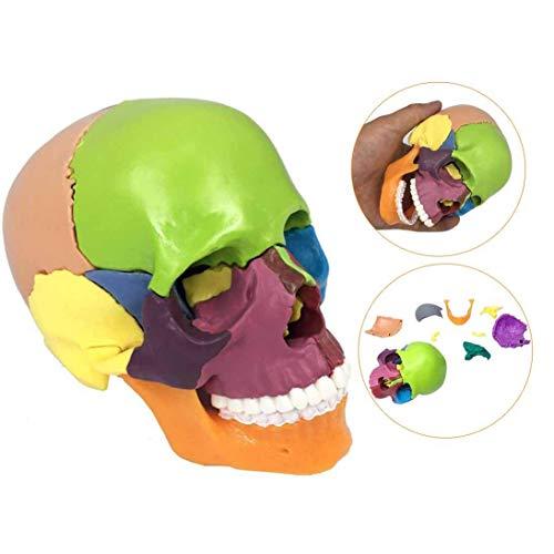 Huili Modelo de cráneo Humano Desmontable de 15 Partes - Modelo de anatomía del cráneo Humano - Modelo de cráneo anatómico médico Coloreado - para la exhibición del Estudio Modelo médico de enseñanza