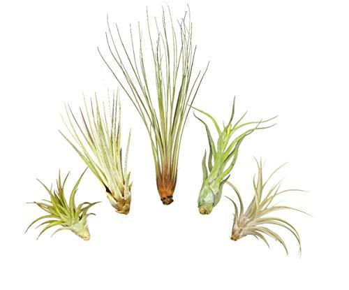 Tillandsien 5er XL Set, mit je einer Tillandsia juncea, einer T. captitata, einer T. abdita, einer T. caput medusae und einer T. fasciculata