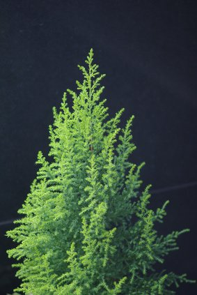 Monterey Zypresse Cupressus macrocarpa...