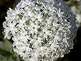 BloomGreen Co. Semillas Flor: Mosquitos de la Planta (los repelentes de Mosquitos) Las Semillas Blancas para el Cabrito jardinería (16 Paquetes) Las Semillas de Las Plantas de jardín