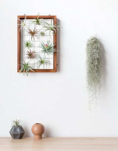 Mkono Air Plant Frame Tillandsia Wall Display, 7 7/8 Inch, 16 Inch 2 A wonderful way to display your tillandsias. This frame allows air and light to pass through. With hooks at the back, easy to hang anywhere, wall, windows or outdoor.