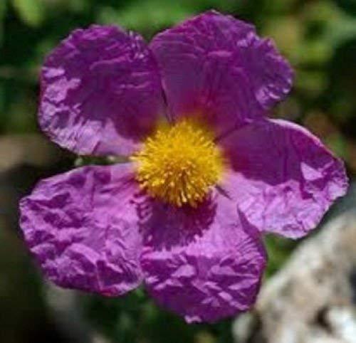 vegherb Cistus Creticus Zistrose 10 Samen