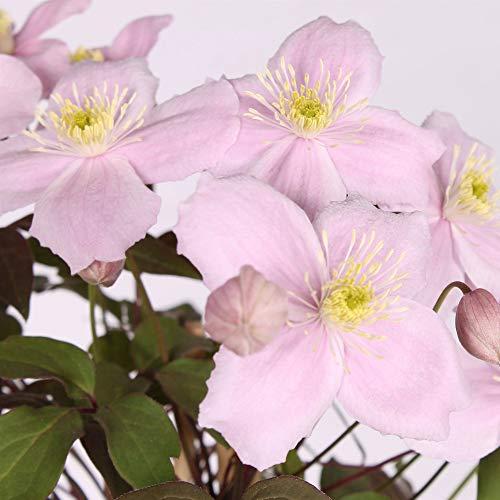 Clematis'Fragrant Spring' | Rosa...