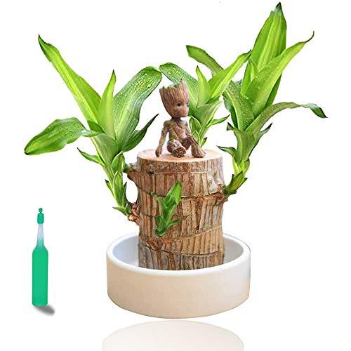 Plantas en macetas de Madera brasileña, Maceta de Madera de la Suerte, tocón de árbol hidropónico Interior en Maceta para purificar el Aire Limpio (5-6cm de diámetro)