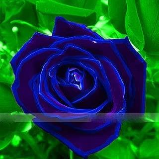 Zennixplus Purple Blue Rose Big Flowering Plants Strong Fragrant Dazzling Garden Flower
