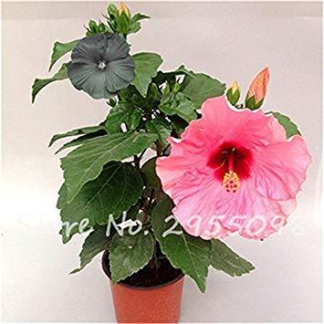 Virtue Zimmer Zierpflanze Mini Bonsai Hibiscus Samen, seltene Topfblumensamen, mehrjährige Blumen Garten Gewächshaus Pflanze 100 Stück 10