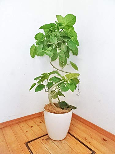 一鉢限定 鉢カバー付きトルネードフィカス ・ウンベラータ 135cm (プラ10号)