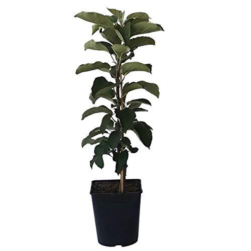 Müllers Grüner Garten Shop Sonate (S) Säulenapfel Lagerapfel Apfelbaum sehr saftig guter Geschmack ca. 60-80 cm im 5 Liter Topf M 7