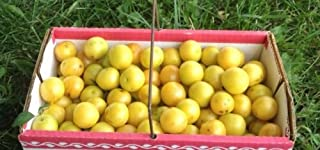 Cherry Plum Fruit Tree Dwarf Edible Fruiting Plant Live Plant Yellow or red