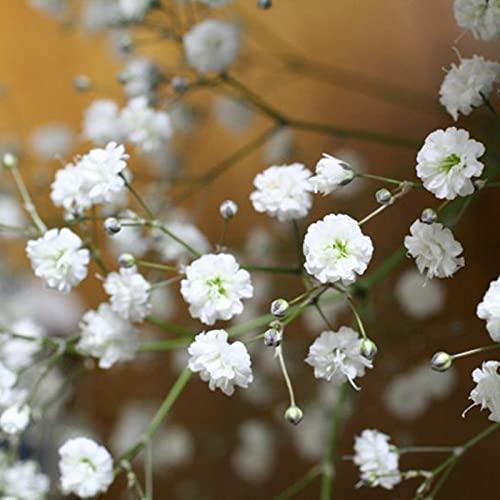 Gypsophila Semillas, 100 piezas / Semillas bolsa de Gypsophila Paniculata Perennes llena de vitalidad semillas blancas Flor de riego luz para jardinería Ideal regalo al aire libre