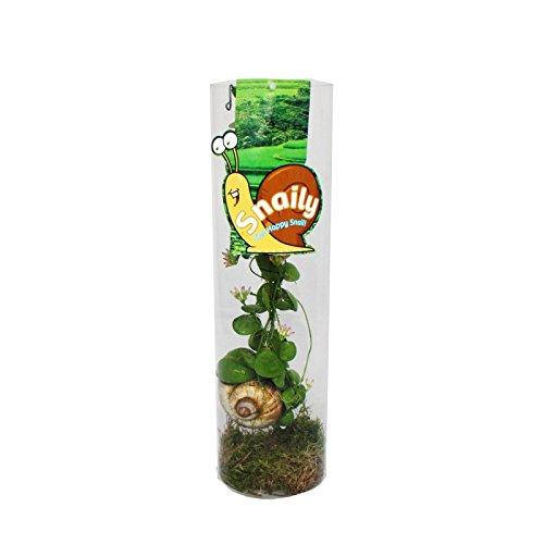Exotenherz - Snaily - Die Schneckenhauspflanze - Dischidia pectenoides - im Acrylglas-Zylinder