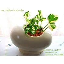 ポトス・エンジョイ / ホワイトエッグポット / Pothos N'joy / White egg pot / イテリア観葉植物/鉢植え