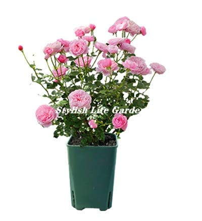 GETSO Kletterrose Bonsai, Perennial Hof Balkon Pflanzen Blume, Zaun Garten-Dekoration-Blumen-100Pcs Semillas De Plantas De Flores: 17