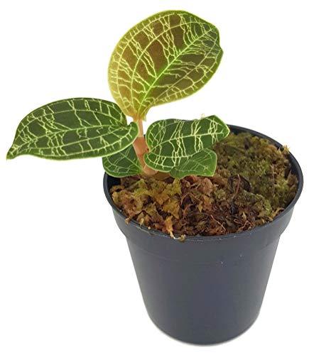 Fangblatt - Macodes petola - Juwelorchidee - kleine Orchidee im Ø 5 cm Topf -...