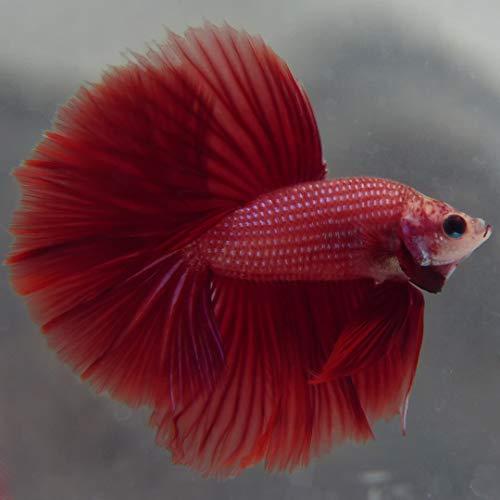 【熱帯魚・ベタ】 ハーフムーン・ベタ オス 色おまかせ ■サイズ:アダルト (5匹)