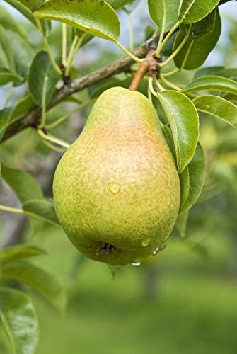 Pear Tree Seeds - 20 Seeds - Grow Fruit Bearing Bonsai - Made in USA. Ships from Iowa