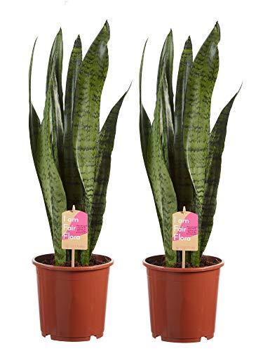 Sansevieria Zeylanica (x2) | Langue de belle-mère | Plante verte de bureau | Plante d'intérieur | Hauteur 65cm | Pot 14cm | Entretien très facile | Production équitable
