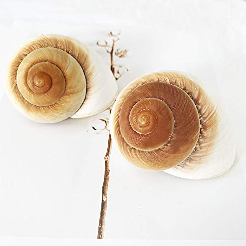 2 PC Muffin Snail Shells,Large Hermit Crab Shells, 3~3.5 Inch