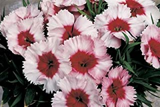 Dianthus Parfait Super Strawberry 250 seeds