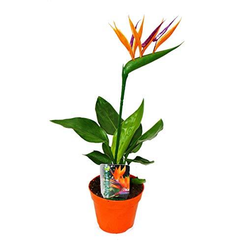 Strelitzie - Paradiesvogelblume - 12cm Topf - mit KÜNSTLICHER Blüte