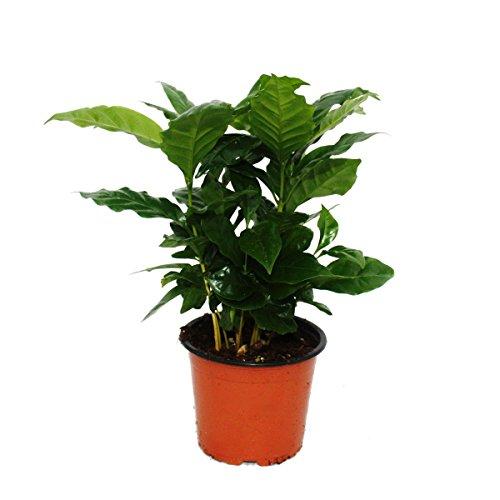 Exotenherz - Kaffee Pflanze (Coffea arabica) 1 Pflanze - Zimmerpflanze